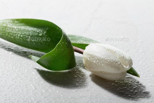 Single tulip laying on white marble background. - Stock Photo - Images