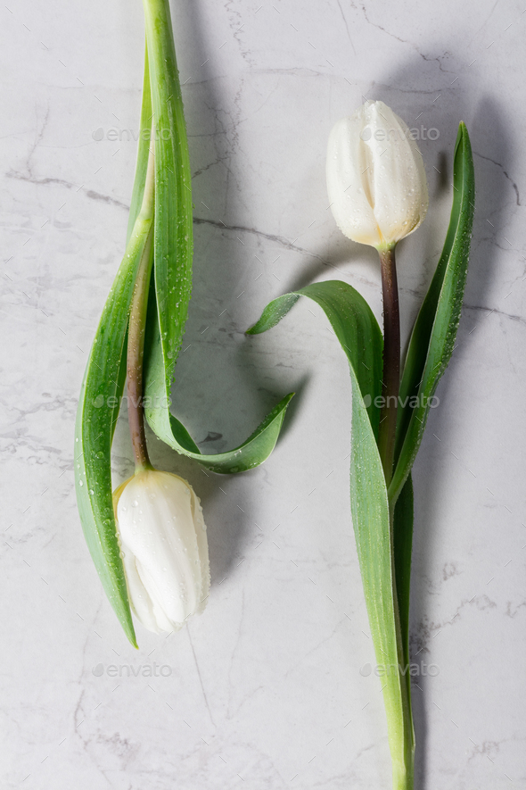 Two white tulips laying on a marble background. - Stock Photo - Images