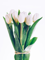 Bunch of fresh white tulips tied together. - PhotoDune Item for Sale