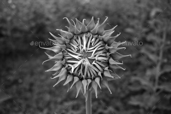 Close up of black & white sunflower on plant - Stock Photo - Images