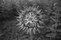 Close up of black & white sunflower on plant - PhotoDune Item for Sale