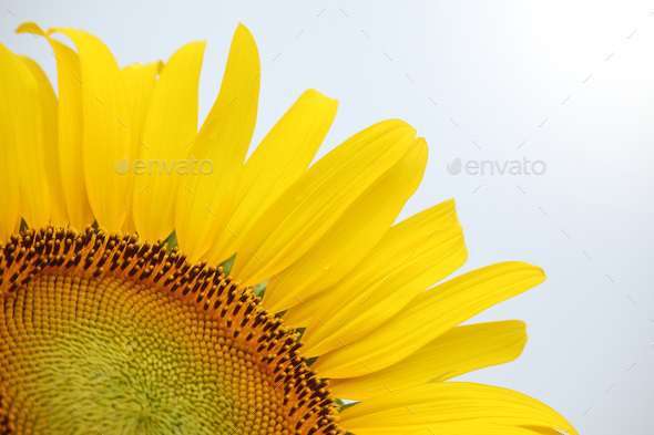Close up of yellow sunflower on plant - Stock Photo - Images