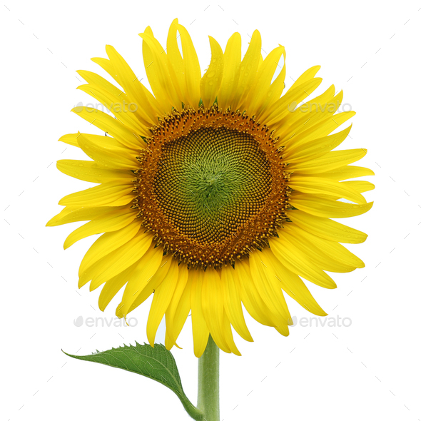 Yellow sunflower isolated on white - Stock Photo - Images