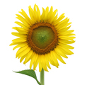 Yellow sunflower isolated on white - PhotoDune Item for Sale