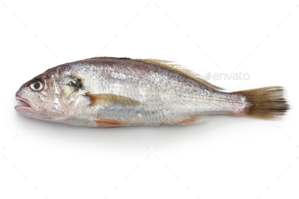 croaker fish - Stock Photo - Images