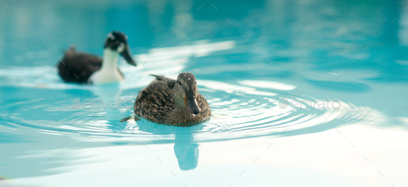 Pair of Mating Ducks Hotel Pool Wild Animal Bird - Stock Photo - Images