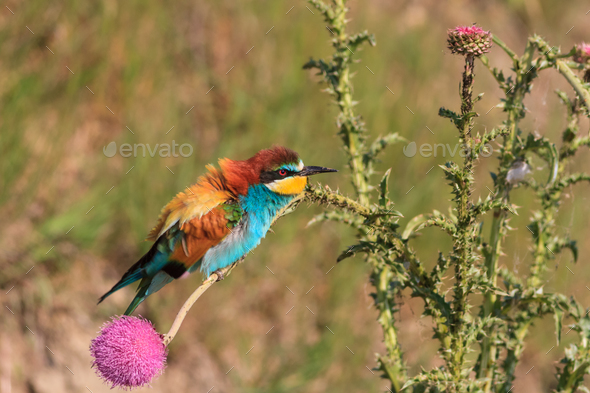 bee-eater - Stock Photo - Images