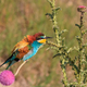 bee-eater - PhotoDune Item for Sale