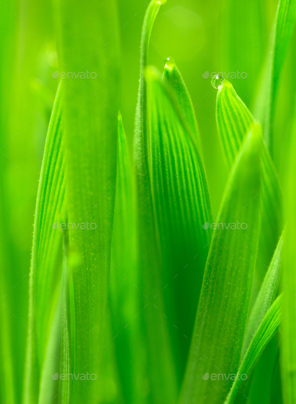 Microgreens Growing Panoramic Dew on Wheatgrass Blades - Stock Photo - Images