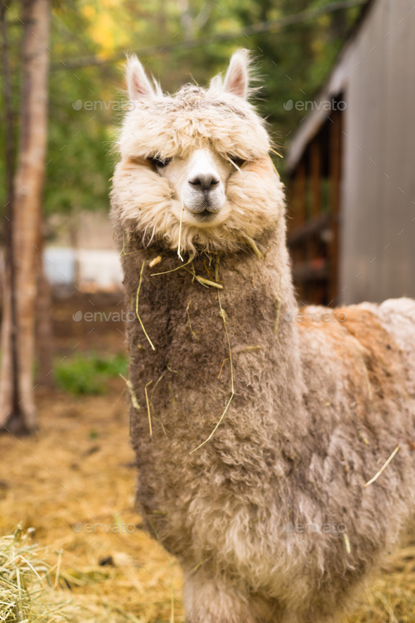 Lone Domestic Llama Farm Livestock Animals Alaska - Stock Photo - Images