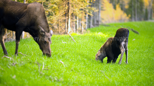 Female Moose Cow Calf Feeding On Grass Alaska Wilderness - Stock Photo - Images