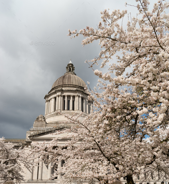 Washington State Capital Building Olympia Springtime Cherry Blossoms - Stock Photo - Images