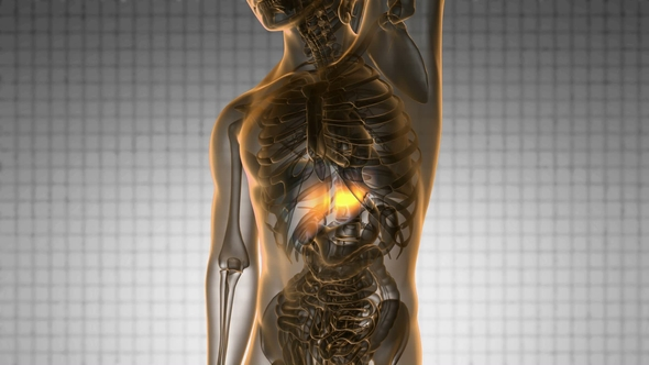 Anatomy Scan Of Human Liver By Icetray Videohive