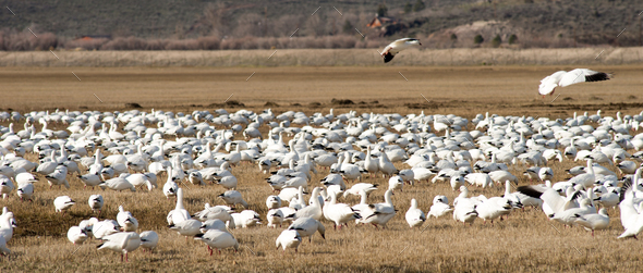 Snow Geese Flock Together Spring Migration Wild Birds - Stock Photo - Images