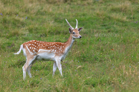 fallow deer (Dama dama) in grass. Parc de Merlet, France - Stock Photo - Images