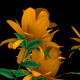 Growing Yellow Flowers - VideoHive Item for Sale
