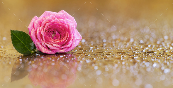 Pink rose flower greeting card, banner - Stock Photo - Images