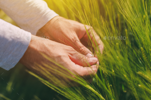 Hands and green green wheat ears - Stock Photo - Images
