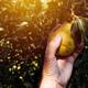 Farmer examining pear fruit grown in organic garden - PhotoDune Item for Sale