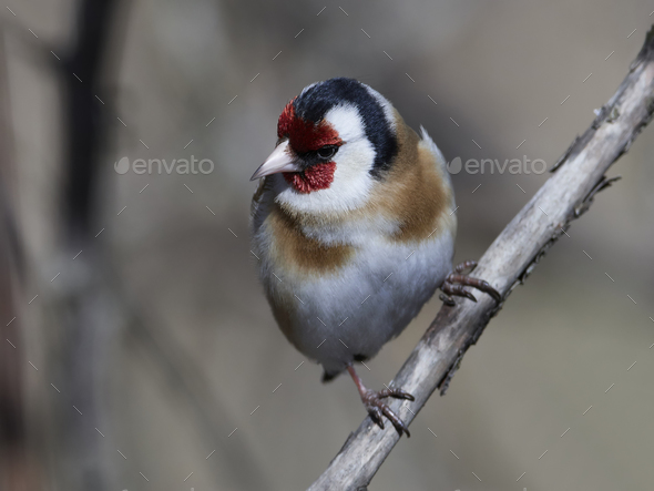 European goldfinch (Carduelis carduelis) - Stock Photo - Images