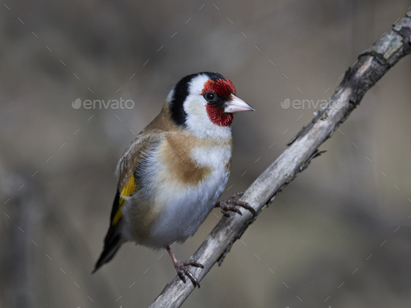 European goldfinch (Carduelis carduelis) - Stock Photo - Images