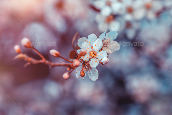 Cherry tree blossom - Stock Photo - Images