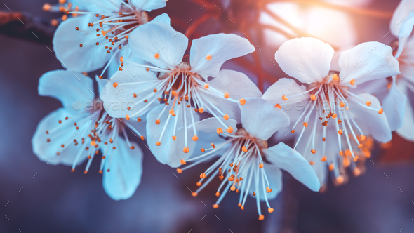 Cherry tree blooming - Stock Photo - Images