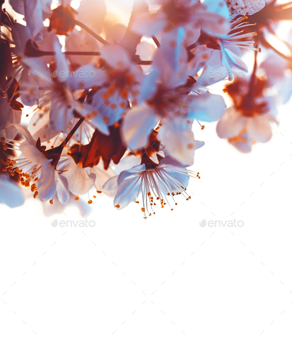 Cherry tree blooming border - Stock Photo - Images