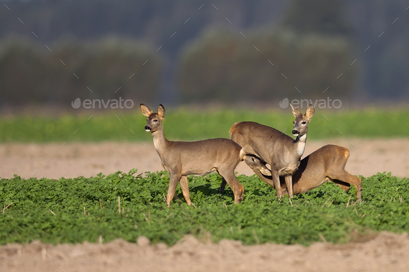Roe-deer with family in the wild  - Stock Photo - Images