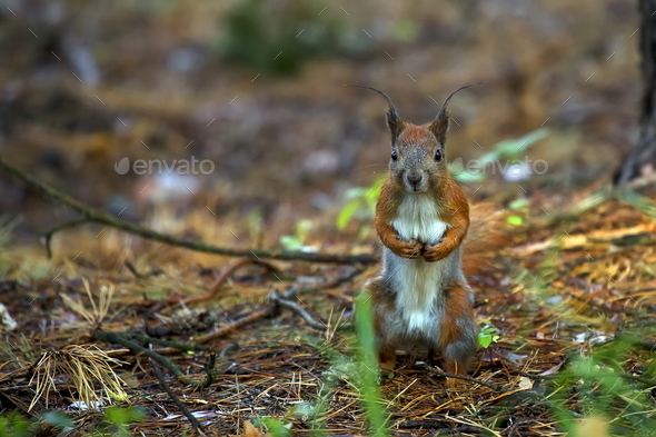 Red squirrel in the forest  - Stock Photo - Images