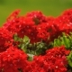Vivid Small Red Flowers Swaying in Wind in a Garden - VideoHive Item for Sale