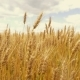 Spike of Wheat on the Field  Against the Background of a Cloudy Sky. Wheat Ready for Harvesting - VideoHive Item for Sale
