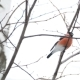 Natural Winter Background - Frozen Branches and Male Bullfinch. Russia. - VideoHive Item for Sale
