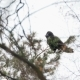 Natural Winter Background - Common Raven Corvus Corax Sitting and Croaking on Frozen Pine Tree - VideoHive Item for Sale