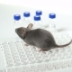 Gray Laboratory Mouse