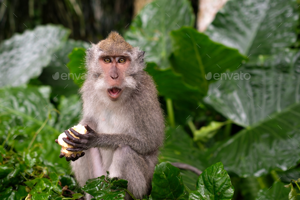 Young Macaque Monkey eat - Stock Photo - Images
