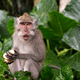 Young Macaque Monkey eat - PhotoDune Item for Sale