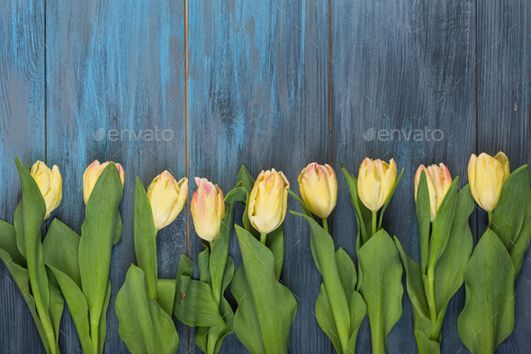 Yellow tulips on blue background - Stock Photo - Images