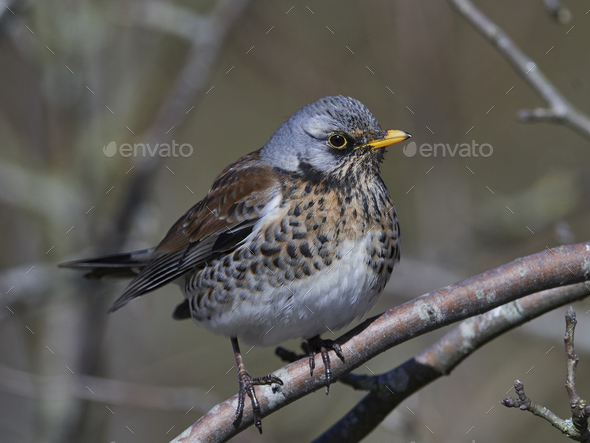 Fieldfare (Turdus pilaris) - Stock Photo - Images