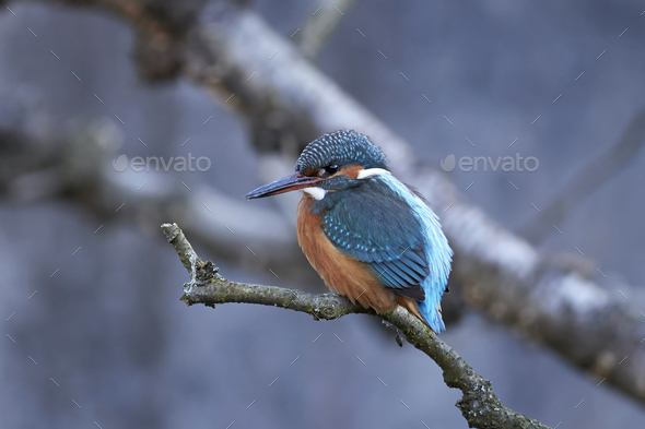 Common kingfisher (Alcedo atthis) - Stock Photo - Images