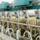 Machine Milking Sheep on a Farm. Industrial Milk Production - VideoHive Item for Sale