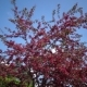 Blooming Pink Crab Apple Trees in the Spring Garden - VideoHive Item for Sale
