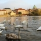 Swans on the Vltava River in Prague - VideoHive Item for Sale