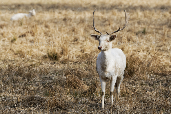 Herd of white fallow deer (Dama dama) in nature - Stock Photo - Images