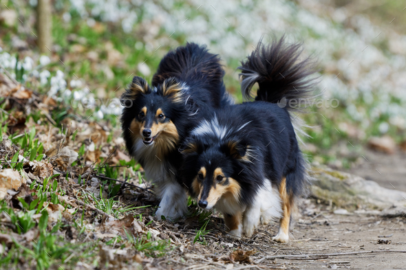 Two tricolor shetland sheepdog walking - Stock Photo - Images