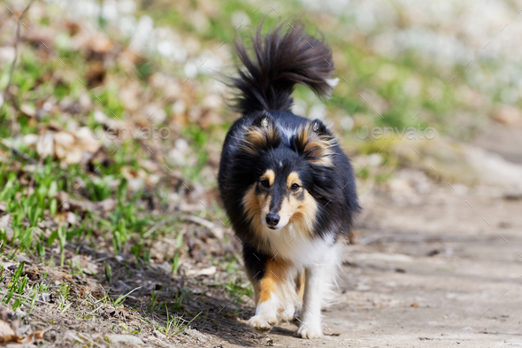 Tricolor shetland sheepdog walking on the road - Stock Photo - Images