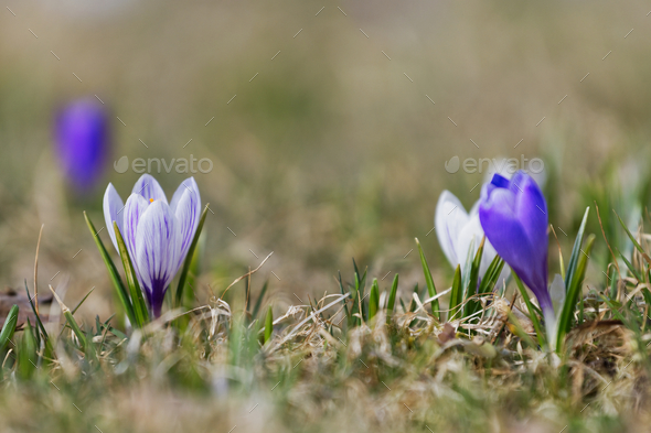 Crocuses close up in a sunny spring day (Crocus vernus) - Stock Photo - Images