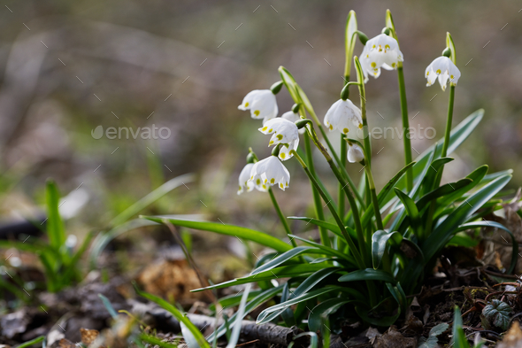 Beautiful blooming of White spring snowflake flowers - Stock Photo - Images