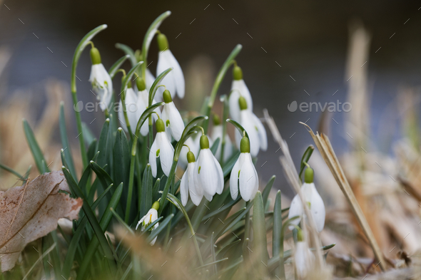 Closeup shot of fresh common snowdrops (Galanthus nivalis) blooming in the spring. - Stock Photo - Images
