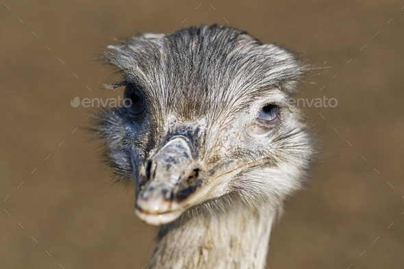 Portrait of greater rhea (Rhea americana) - Stock Photo - Images